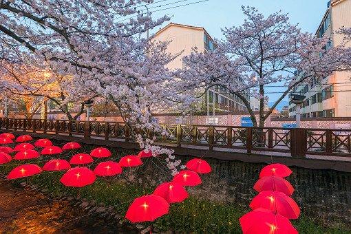 2018 Jinhae Cherry Blossom Festival One Day Shuttle Bus Tour_6