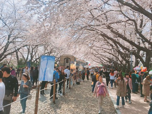 2018 Jinhae Cherry Blossom Festival One Day Shuttle Bus Tour_12