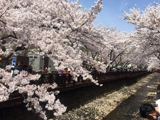 2018 Jinhae Cherry Blossom Festival One Day Shuttle Bus Tour_1