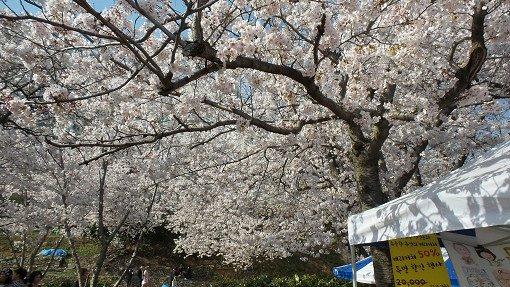 2018 Jinhae Cherry Blossom Festival One Day Shuttle Bus Tour_8
