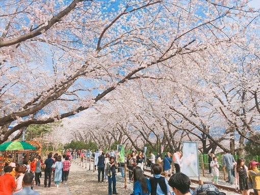 2018 Jinhae Cherry Blossom Festival One Day Shuttle Bus Tour_13