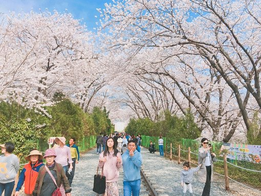 2018 Jinhae Cherry Blossom Festival One Day Shuttle Bus Tour_11