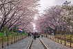 2018 Jinhae Cherry Blossom Festival One Day Shuttle Bus Tour_thumb_7