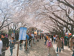 2018 Jinhae Cherry Blossom Festival One Day Shuttle Bus Tour_thumb_12