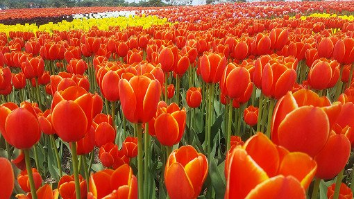 [Apr 14 - May 12] Taean Tulip Festival and Strawberry Picking