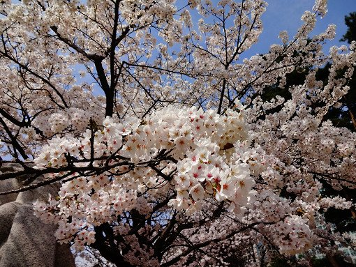 2018 Cherry Blossom Near Seoul One Day Tour_11