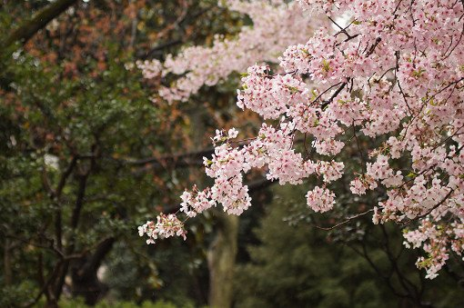 2018 Cherry Blossom Near Seoul One Day Tour_1