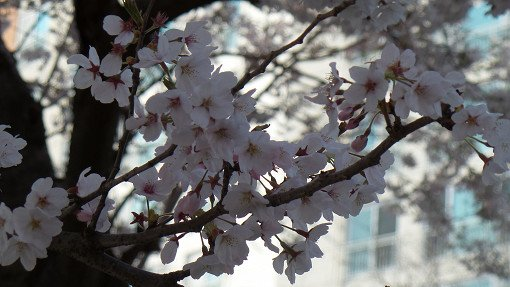 2018 Cherry Blossom Near Seoul One Day Tour_3