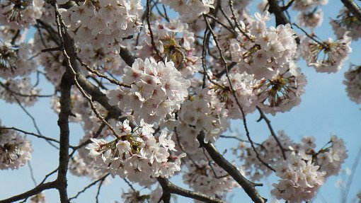 2018 Cherry Blossom Near Seoul One Day Tour_2