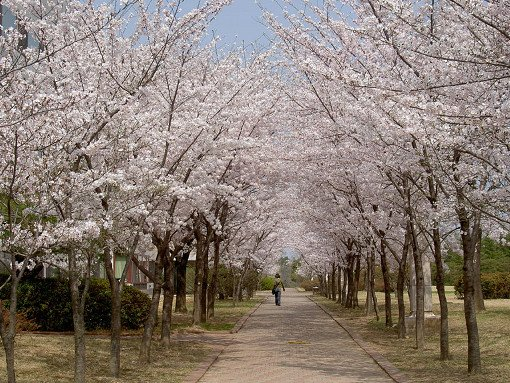 2018 Cherry Blossom Near Seoul One Day Tour_10