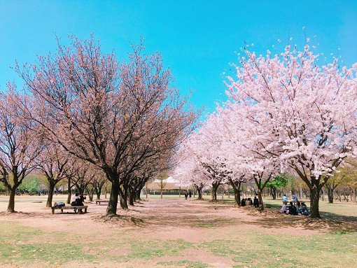 Cherry Blossom One Day Tour Seoul Forest View