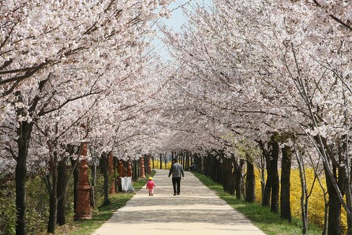 Cherry Blossom One Day Tour Yeouido