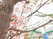 2018 Cherry Blossom Near Seoul One Day Tour_thumb_6
