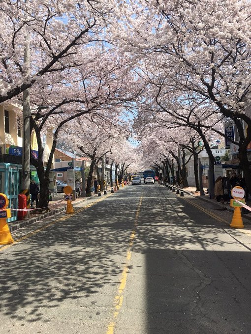 [From Busan] 2018 Jinhae Gunhangje Cherry Blossom Festival One Day Tour_6