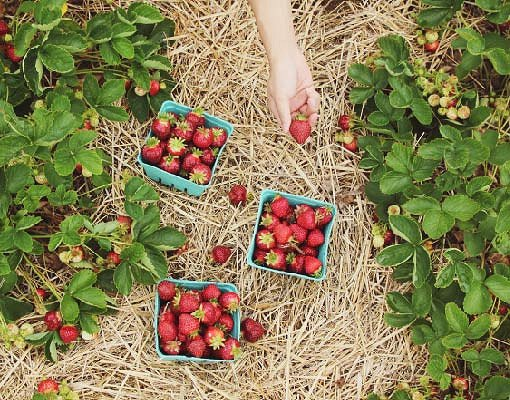 [Dec 2-May 31] Pocheon Herb Island Light Festival &  Strawberry Picking & Art Valley One Day Tour_7