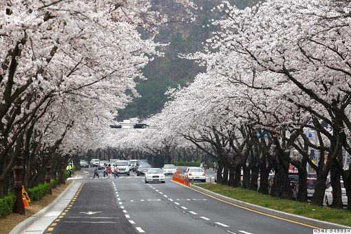 [From Busan] 2018 Gyeongju Cherry Blossom Festival One Day Tour_1