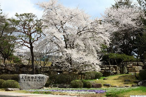 [From Busan] 2018 Gyeongju Cherry Blossom Festival One Day Tour_6