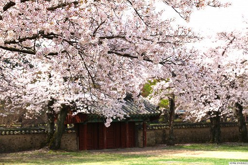 [From Busan] 2018 Gyeongju Cherry Blossom Festival One Day Tour_2