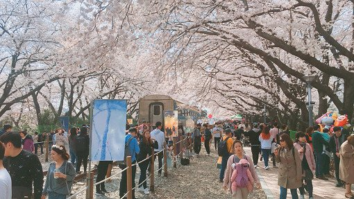 [From Busan] Cherry Blossom Festival One Day Tour
