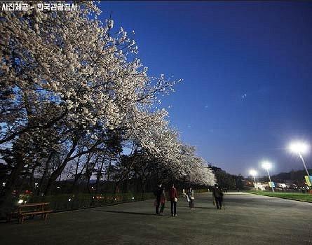 Night Cherry Blossom One Day Tour