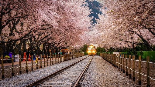[From Busan] Jinhae Cherry Blossom Night Viewing Evening Tour_4