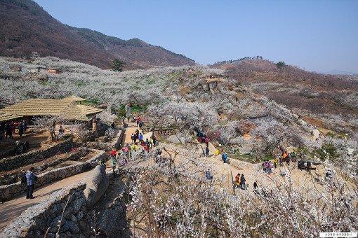 [From Seoul/Busan] Gwangyang Maehwa Festival & Gurye Sansuyu Village One Day Tour_9