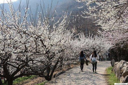 [From Seoul/Busan] Gwangyang Maehwa Festival & Gurye Sansuyu Village One Day Tour_7