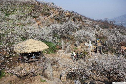 [From Seoul/Busan] Gwangyang Maehwa Festival & Gurye Sansuyu Village One Day Tour_8