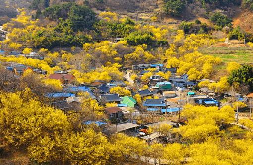 [From Seoul/Busan] Gwangyang Maehwa Festival & Gurye Sansuyu Village One Day Tour