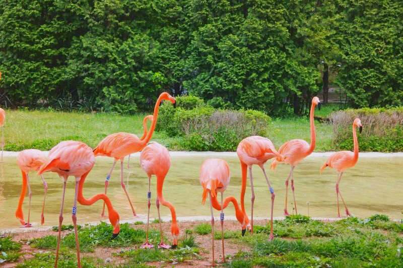 seoul land zoo flamingo