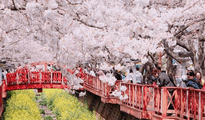 Jinhae Cherry Blossom Festival One Day Shuttle Bus Tour