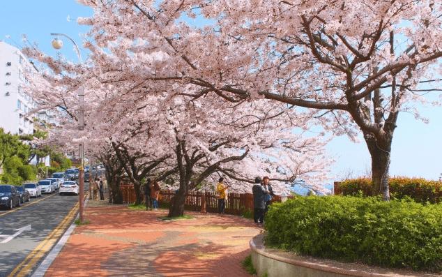 Cherry Blossom Busan One day tour - Dalmaji-gil Road Cherry Blossom