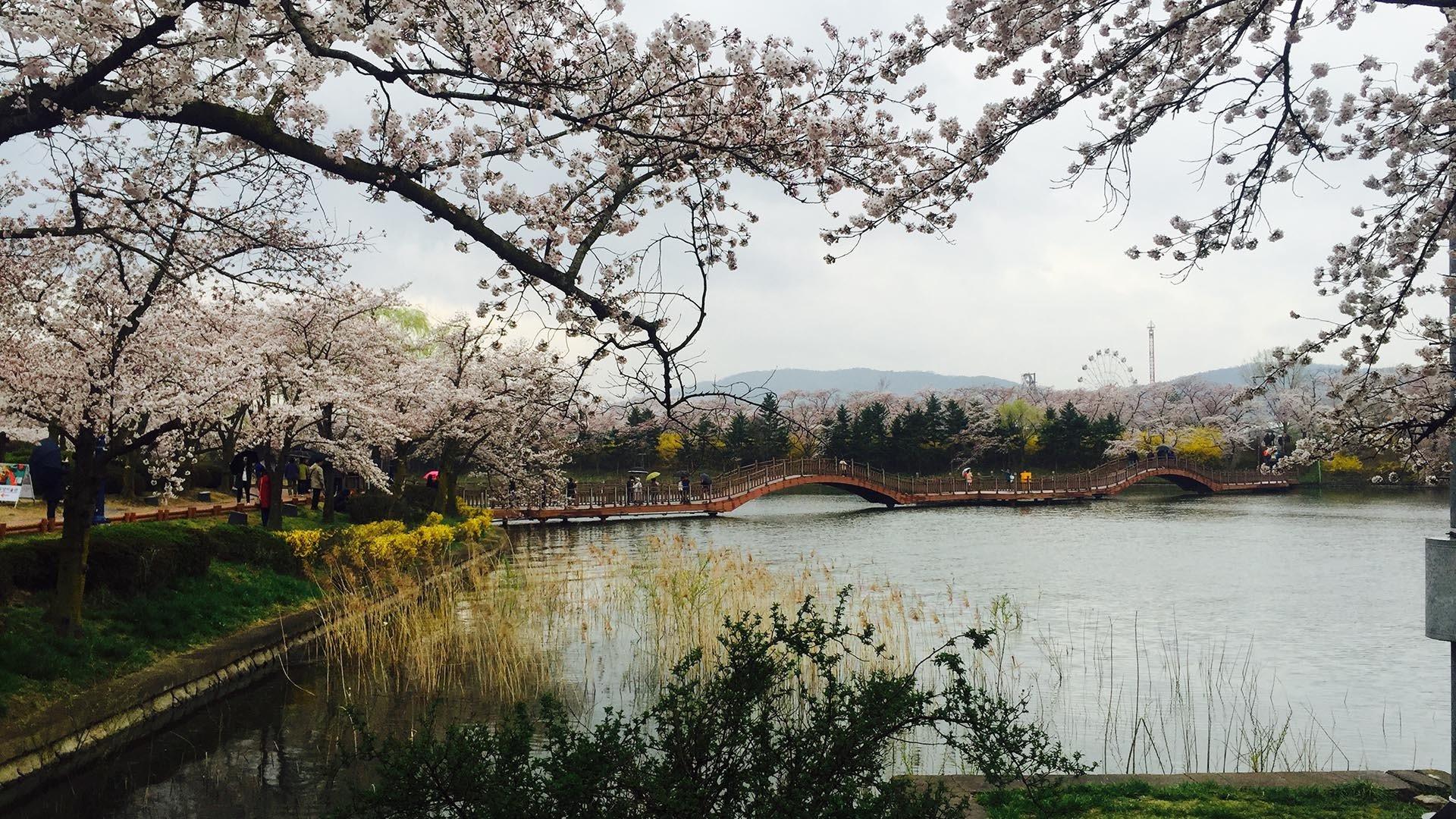 Busan Cherry blossom tour yeonji park cherry blossom