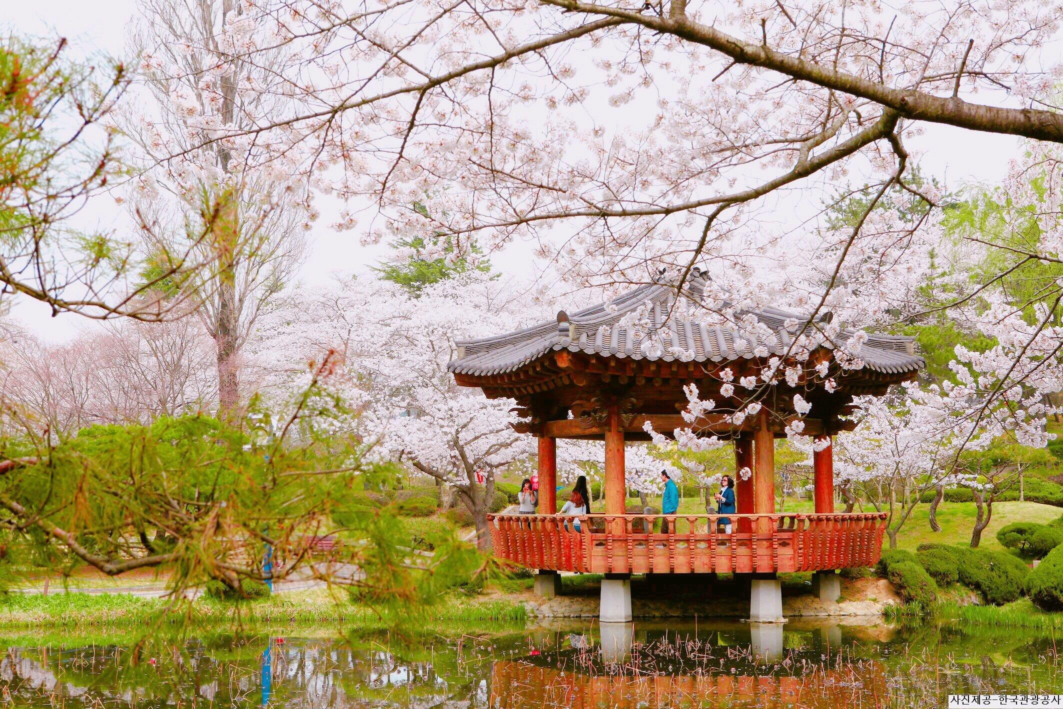2019 Gyeongju Cherry Blossom Festival One Day Tour from busan bomun lake gyeongju