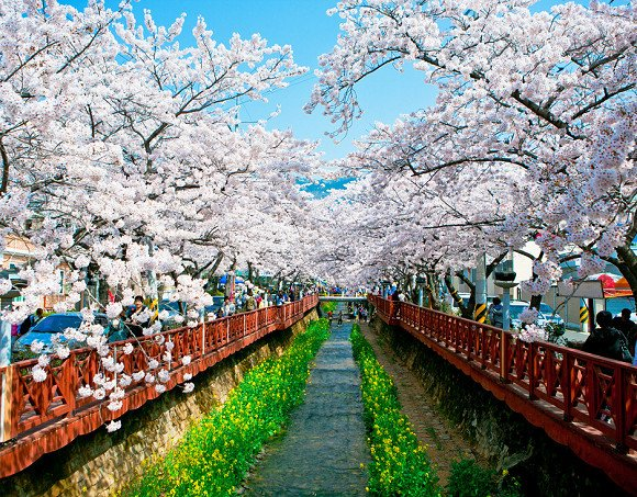 [Busan] Cherry Blossom & Gyeongju Temple Private Day Tour